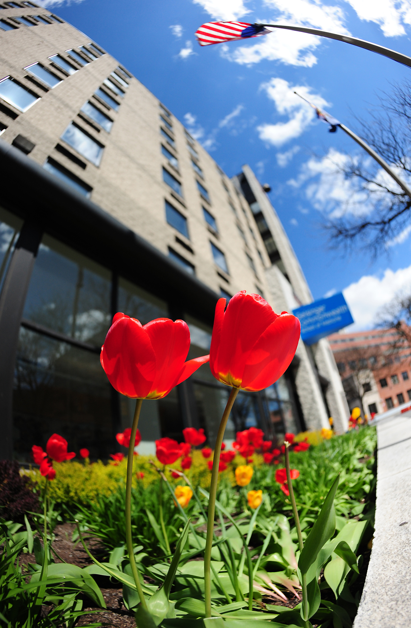 Tulips in bloom on Public Square in Wilkes-Barre, Pa on Earth Day, April 22, 2020.